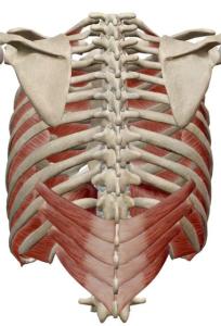 肋骨下制筋