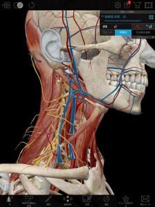 頸部筋と血管